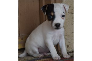 Parson Russell Terriers for sale