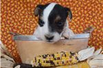 Picture of Champion Sired Parson Russell Terrier!