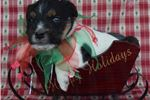 Picture of Champion Sired Parson Russell- Ready 4 X-Mas