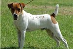 Picture of Champion Sired Short Coated Parson Female