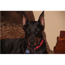 View full profile for Superior Family Dobermans