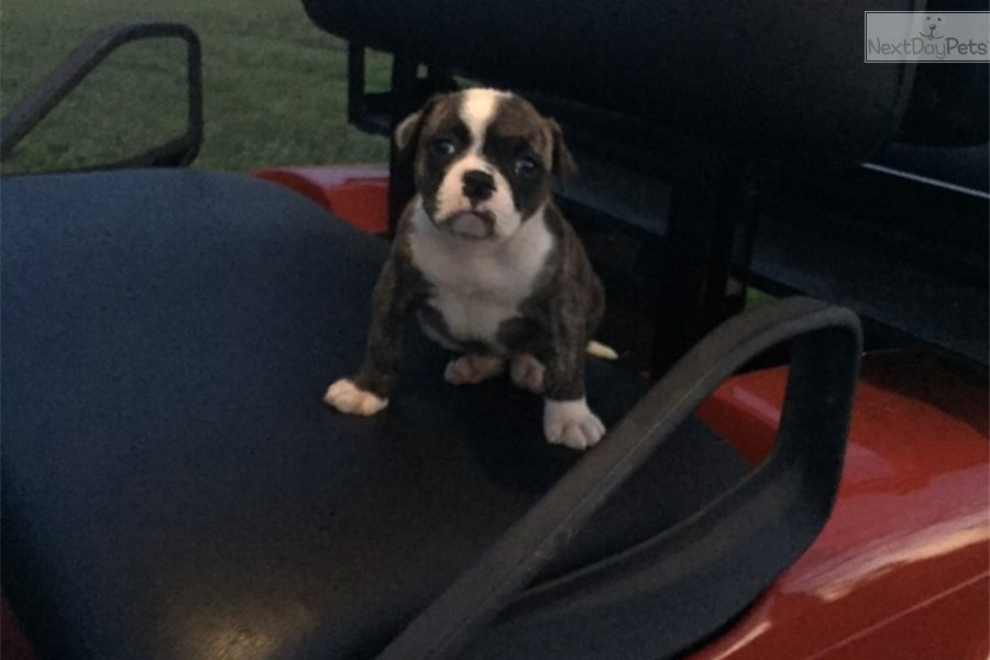 Hoss Girl : American Bulldog puppy for sale near Atlanta, Georgia
