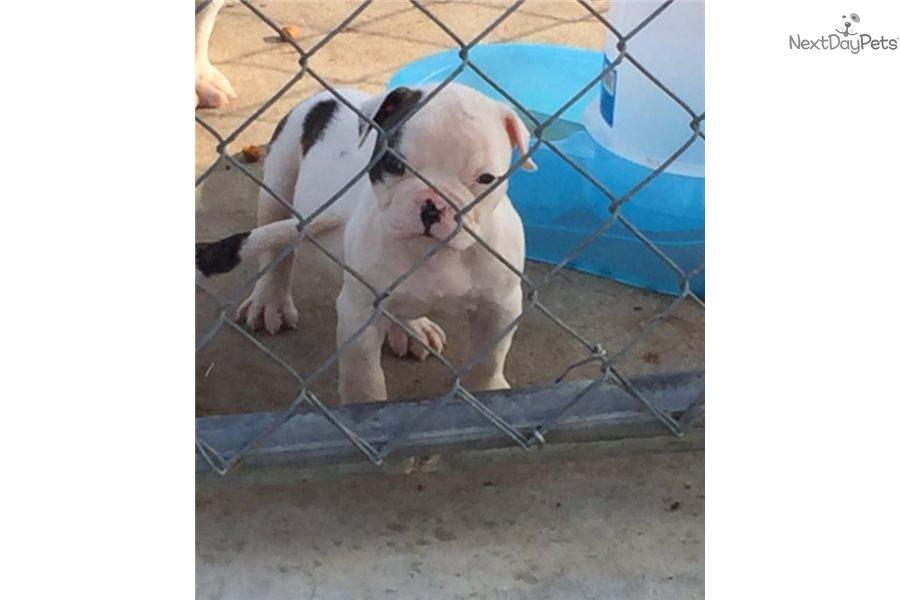 Bossy: American Bulldog puppy for sale near Atlanta, Georgia