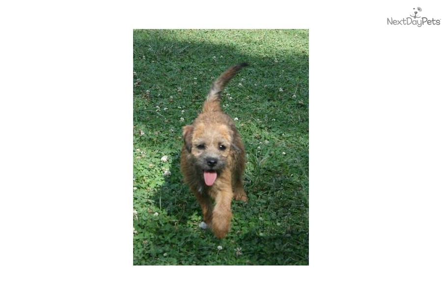 Meet Sassy A Cute Border Terrier Puppy For Sale For 500 Darling Young Adult Border Terrier