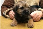Handsome male Border Terrier puppy | Puppy at 21 weeks of age for sale