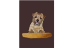 Picture of a Norfolk Terrier Puppy