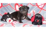 Picture of AKC BLACK MALE PUG PUPPY