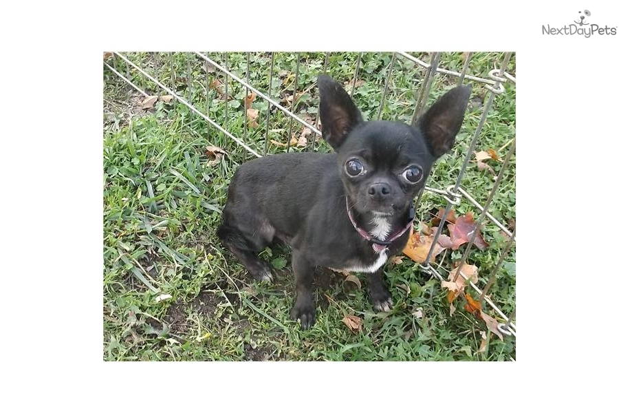 Adopt Blacky A Chihuahua Puppy For 5 Pound Black