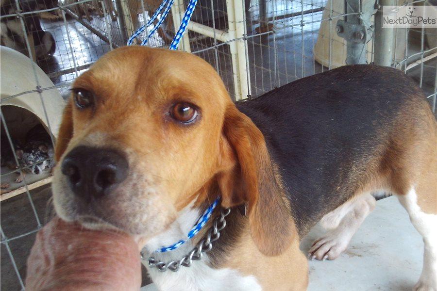 Sounder Beagle Puppy For Adoption Near Okaloosa Walton Florida