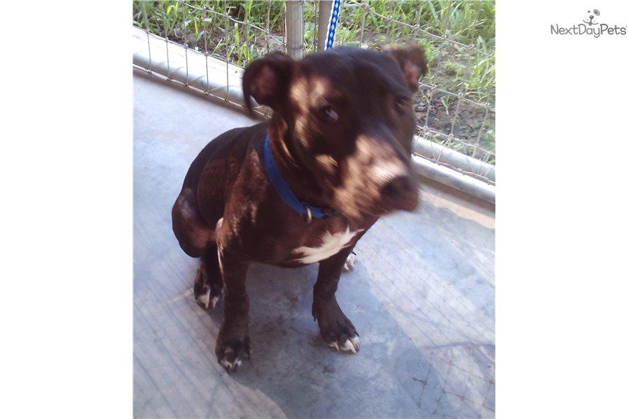 cane corso puppies for adoption florida