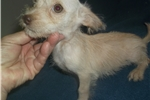 Picture of Sugar Chorkie