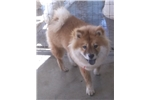 Picture of baby the chow