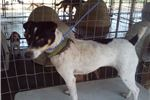 Picture of Abby smooth fox terrier