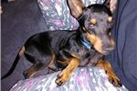 Picture of Lefty The Manchester Terrier