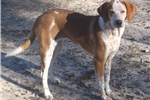 Picture of Daisey hound