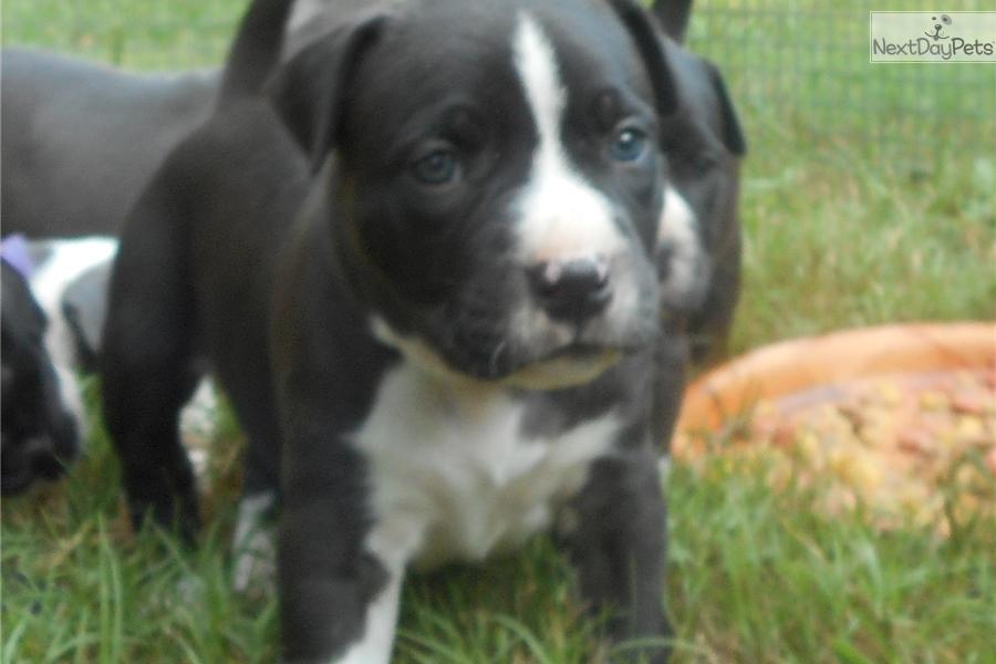 American Staffordshire Terrier puppy for sale near Auburn, Alabama