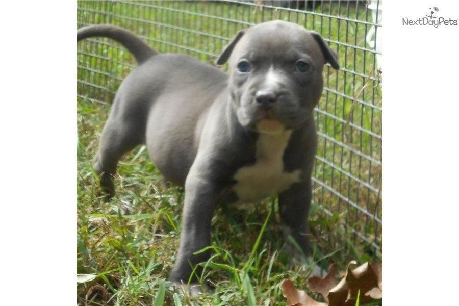 American Staffordshire Terrier puppy for sale near Auburn