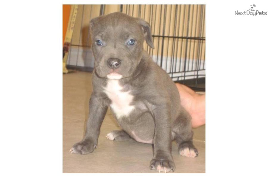 Meet Hazel A Cute American Pit Bull Terrier Puppy For Sale
