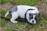 Picture of WHITE PANDA MALE ~~~ POCKET BULLY ~~~ AVAILABLE