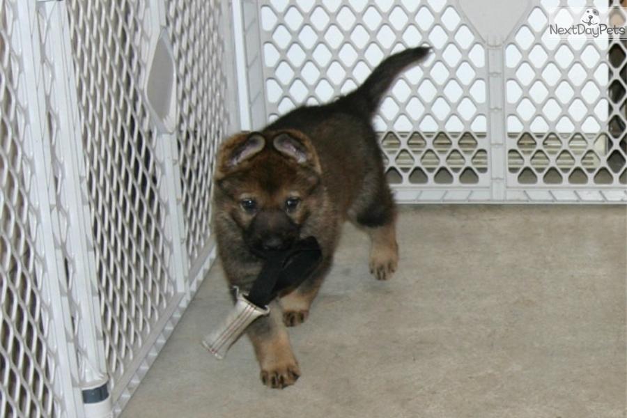 Sable Male (Blk): German Shepherd puppy for sale near