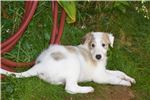 Picture of Champion bloodline AKC borzoi puppy