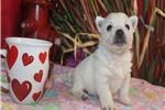 Picture of WISH Beautiful and Playful AKC Parents OFA