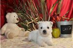 Picture of CHIP MALE AKC Westie OFA Parents