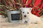 Picture of SAM Male AKC Westie OFA Parents