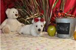 Picture of CARLIE Female AKC Westie baby
