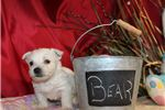 Picture of BEAR Male AKC Westie OFA Parents