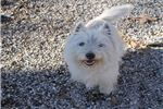 Picture of Rehome, AKC Westie Loving Bug