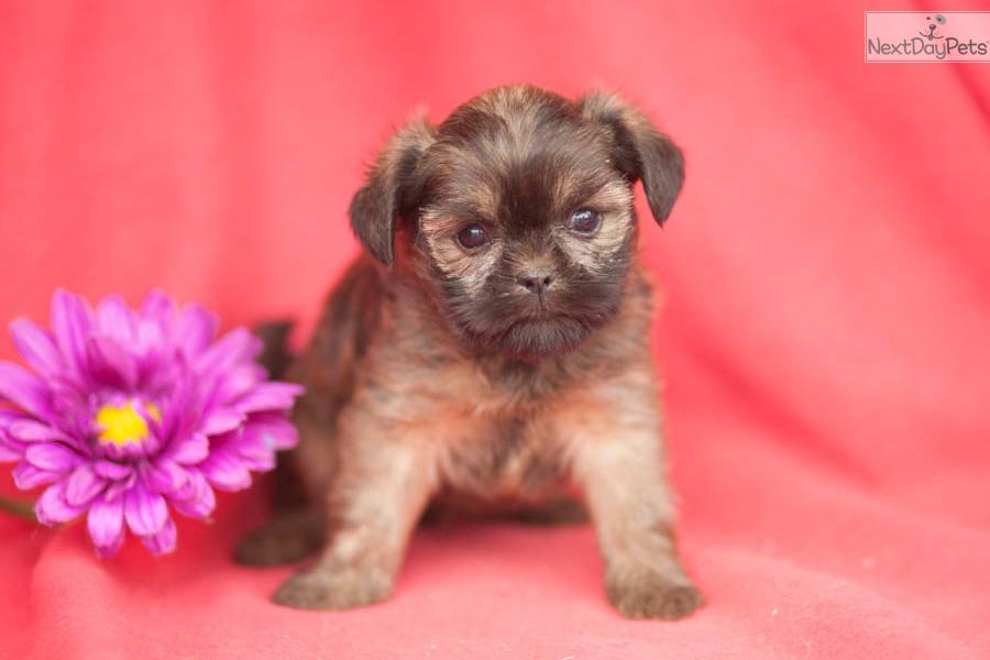 Affenpinscher Puppy For Sale Near Lancaster Pennsylvania 2c71ed1c