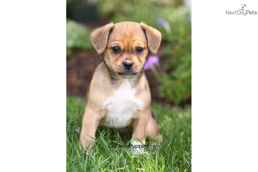 Meet Fancy A Cute Jack Russell Terrier Puppy For Sale For