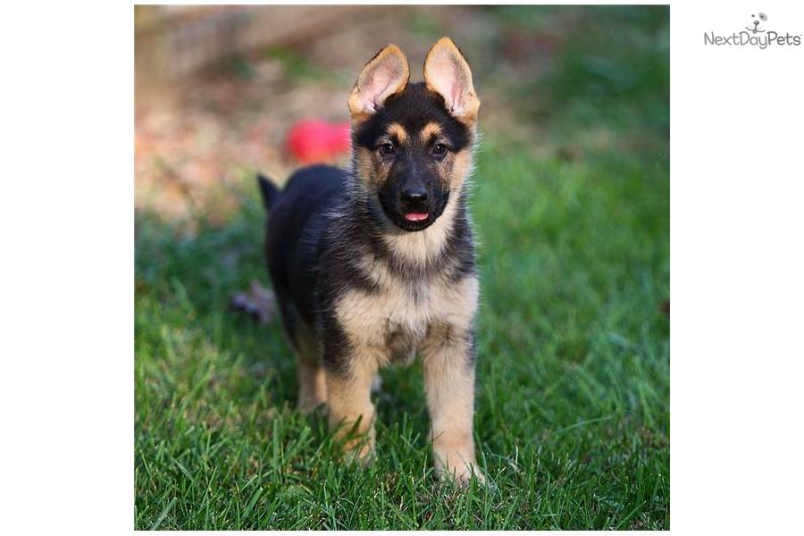 cute German Shephe...
