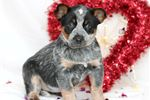 Picture of Trixie, Female, $450