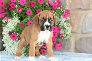 Boxers for sale
