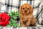 Picture of Rusty, Male, $875