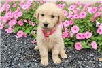 Picture of Daisy, Female, $750