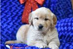 Picture of a Golden Retriever Puppy
