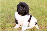 Picture of Gypsey, Female, $1025