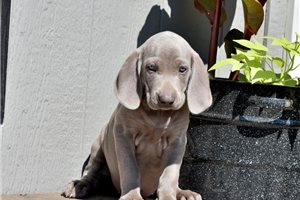 Echo | Puppy at 8 weeks of age for sale