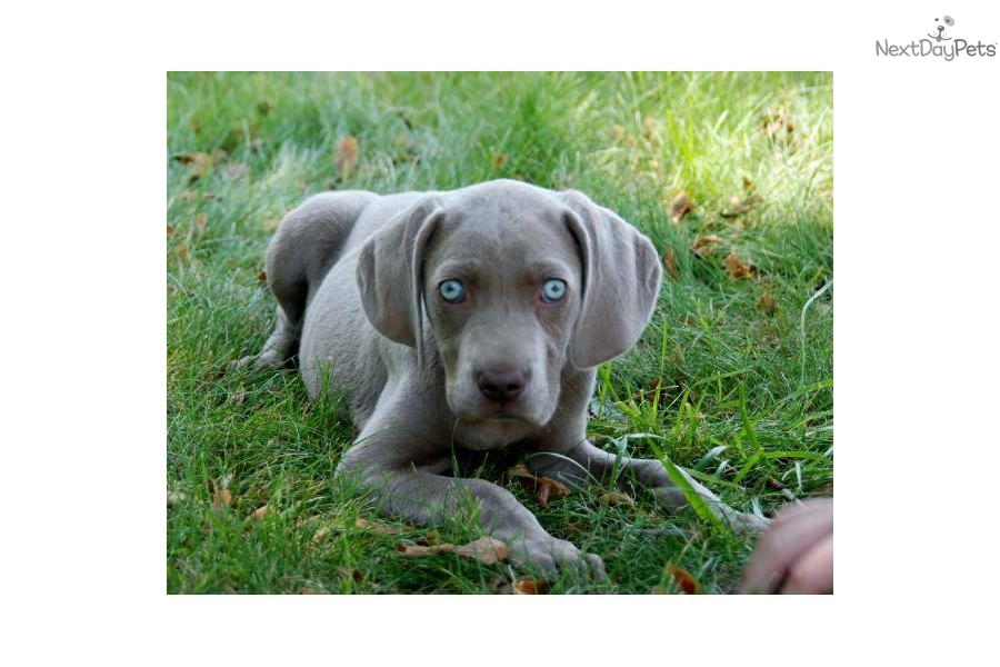 Pin Silver Weimaraner Puppies on Pinterest