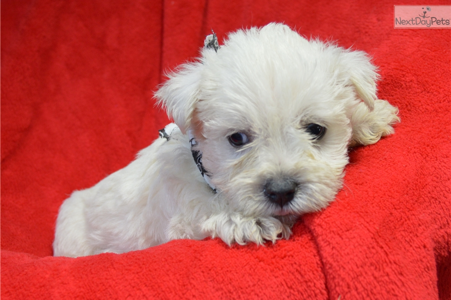 west highland terrier for sale near me west highland white terrier westie puppy for sale near 4003