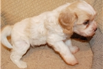 Picture of Puppies are here! Show Quality AKC Parents