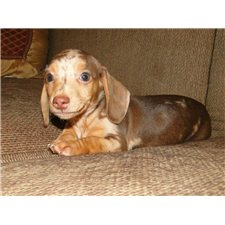 View full profile for AKC DACHSHUND NY