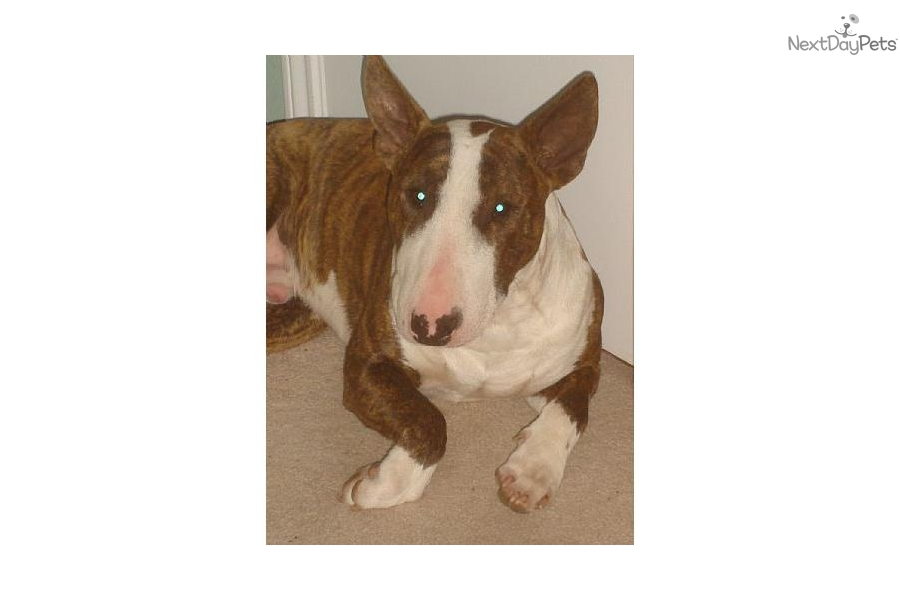 Top Twelve Bully Dogs For Sale In Dallas Texas {Kwalai}