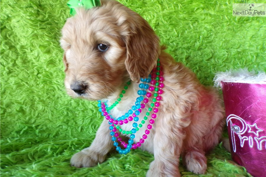 Waco: Goldendoodle puppy for sale near Dallas / Fort Worth
