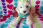 Picture of GINGER The Cavachon