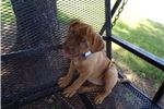 Picture of Miss Bessie The Bordeaux