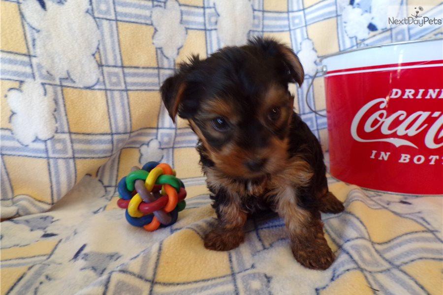 Maverick: Yorkshire Terrier - Yorkie puppy for sale near ...